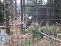 Eagle at Beardsley Zoo