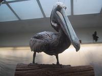Pelican at Audubon