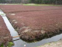 Cranberry Bog, Sharon