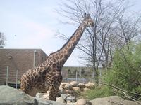 Giraffe at Roger Williams Zoo