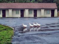 Ducks at the Super 8, Joppa