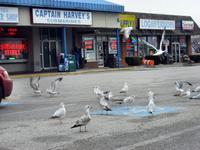 Seagulls love Captain Harvey\'s Subs