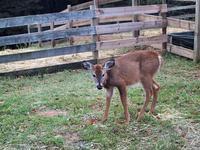 Fawn at Oxon Hill Farm