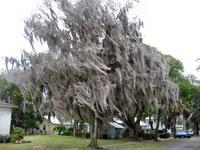 Spanish Moss on a tree, Darien