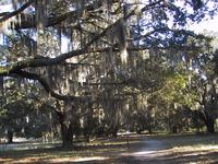 Spanish moss on a tree in  Brunswick