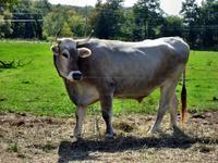 Shaker Bull, Albany